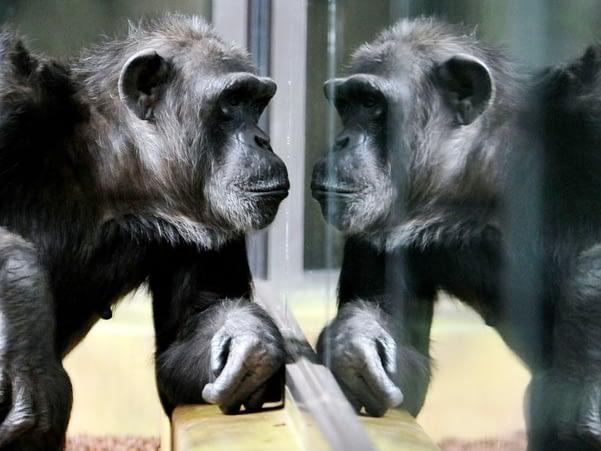 Chimpancé ante el espejo (Fuente: Spanis.China.org.cn)