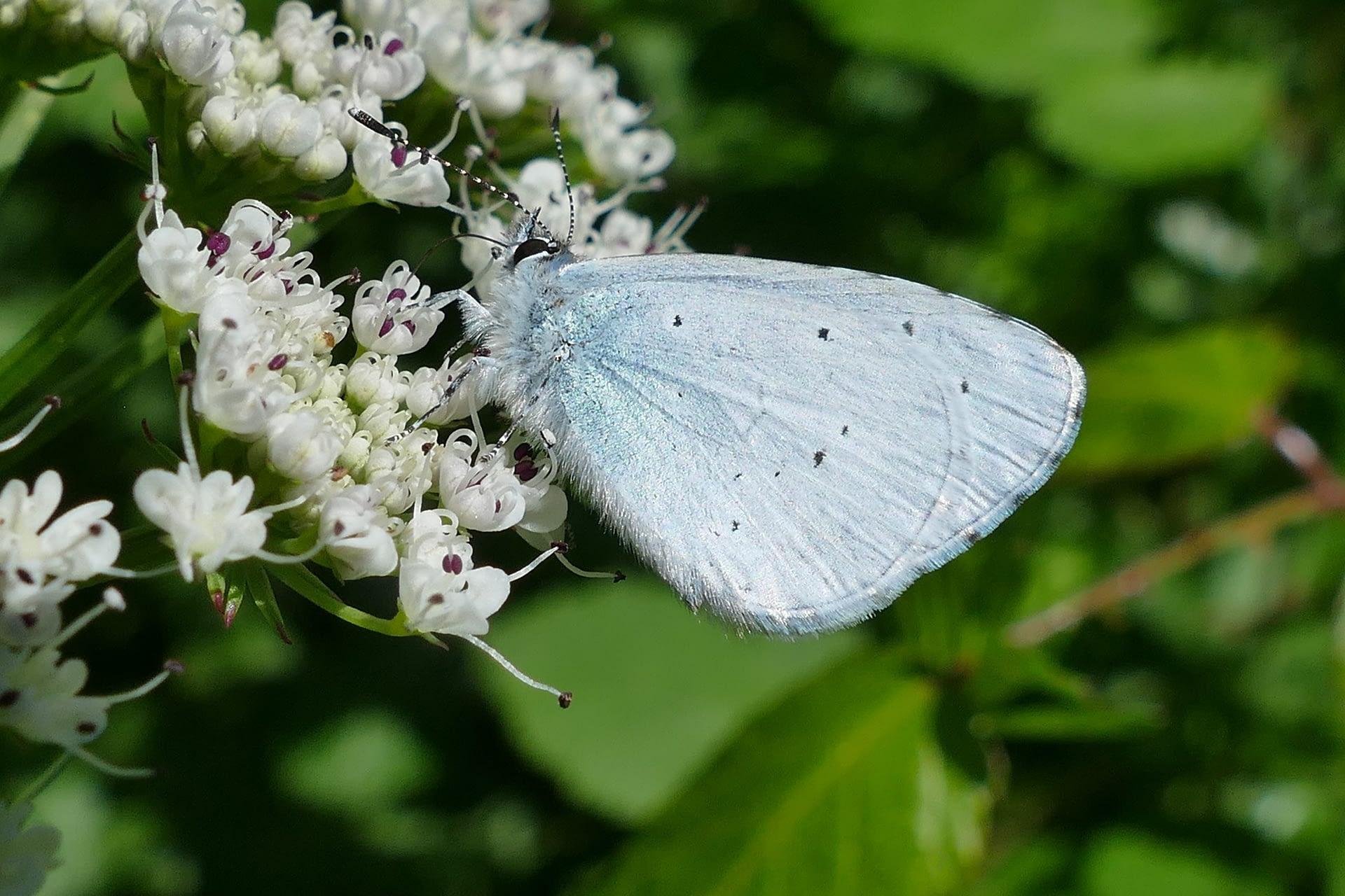 La Náyade, Celastrina argiolus (Lepidoptera: náyade (Celastrina argiolus) visita una inflorescencia de nabo del diablo, Oenanthe crocata.