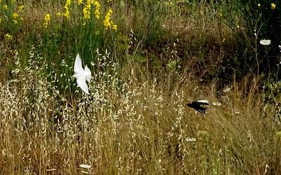 Blancanieves, una golondrina poco común