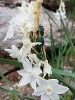 Narcissus papyraceus – Enero