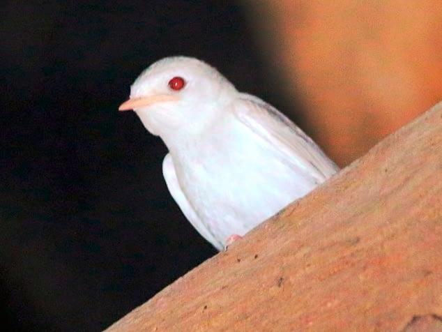 Golondrina común albina