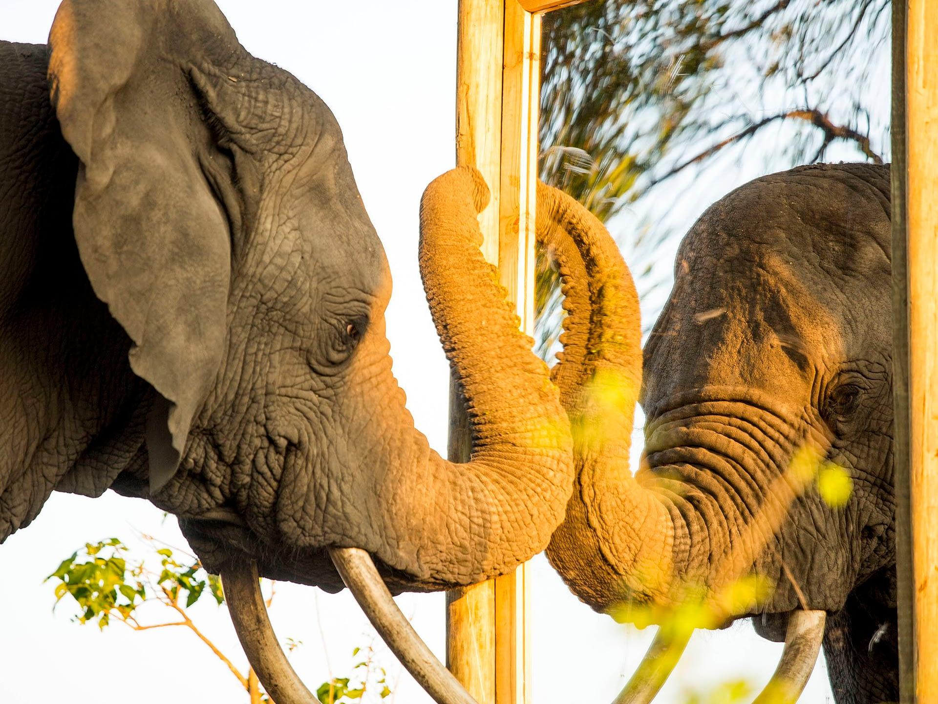 Elefante asiático frente al espejo (Fuente: @NatGeoEspaña)