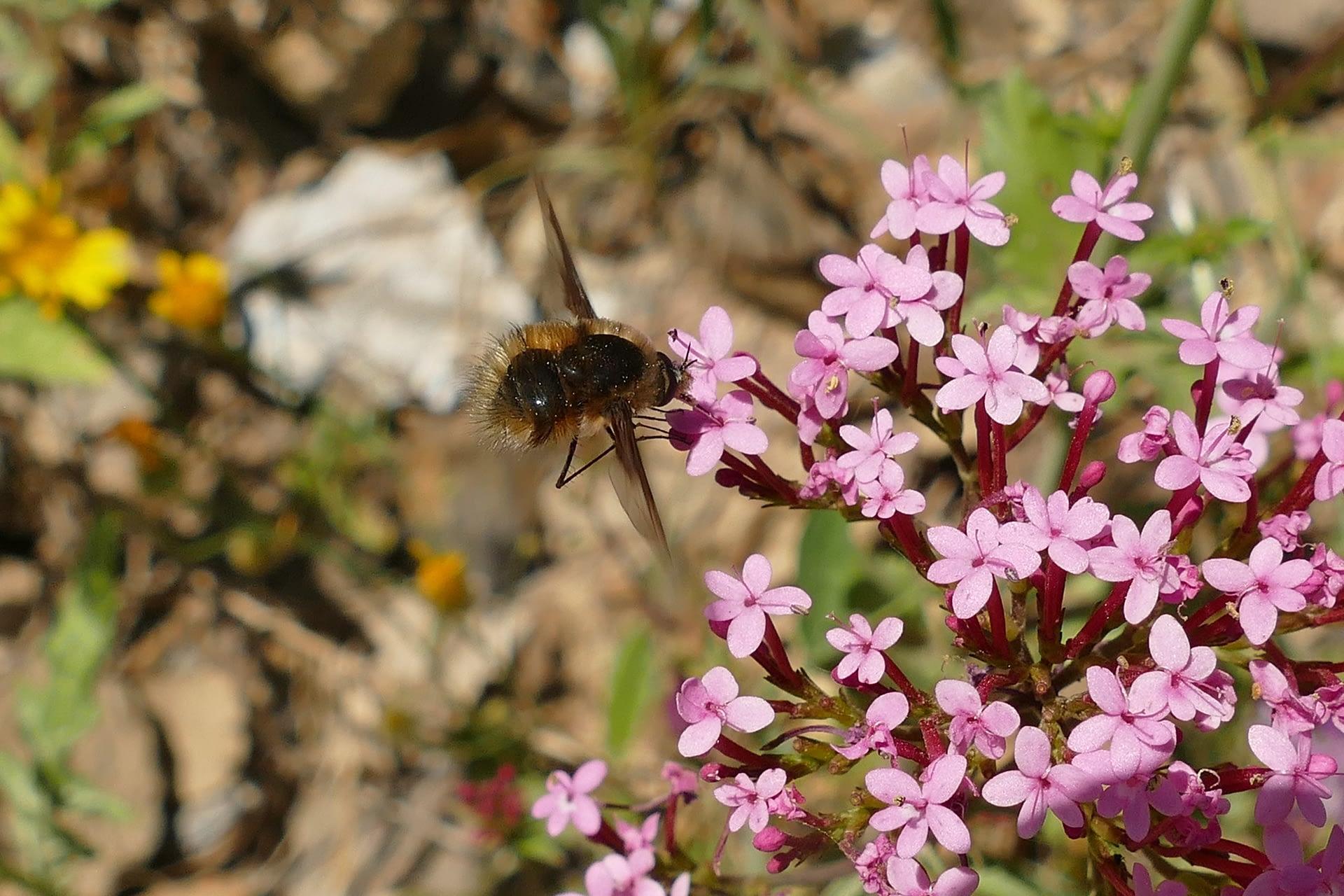 Un Bombylius spec. (Diptera: Bombyliidae) visita una flor de Centranthus macrosyphon.