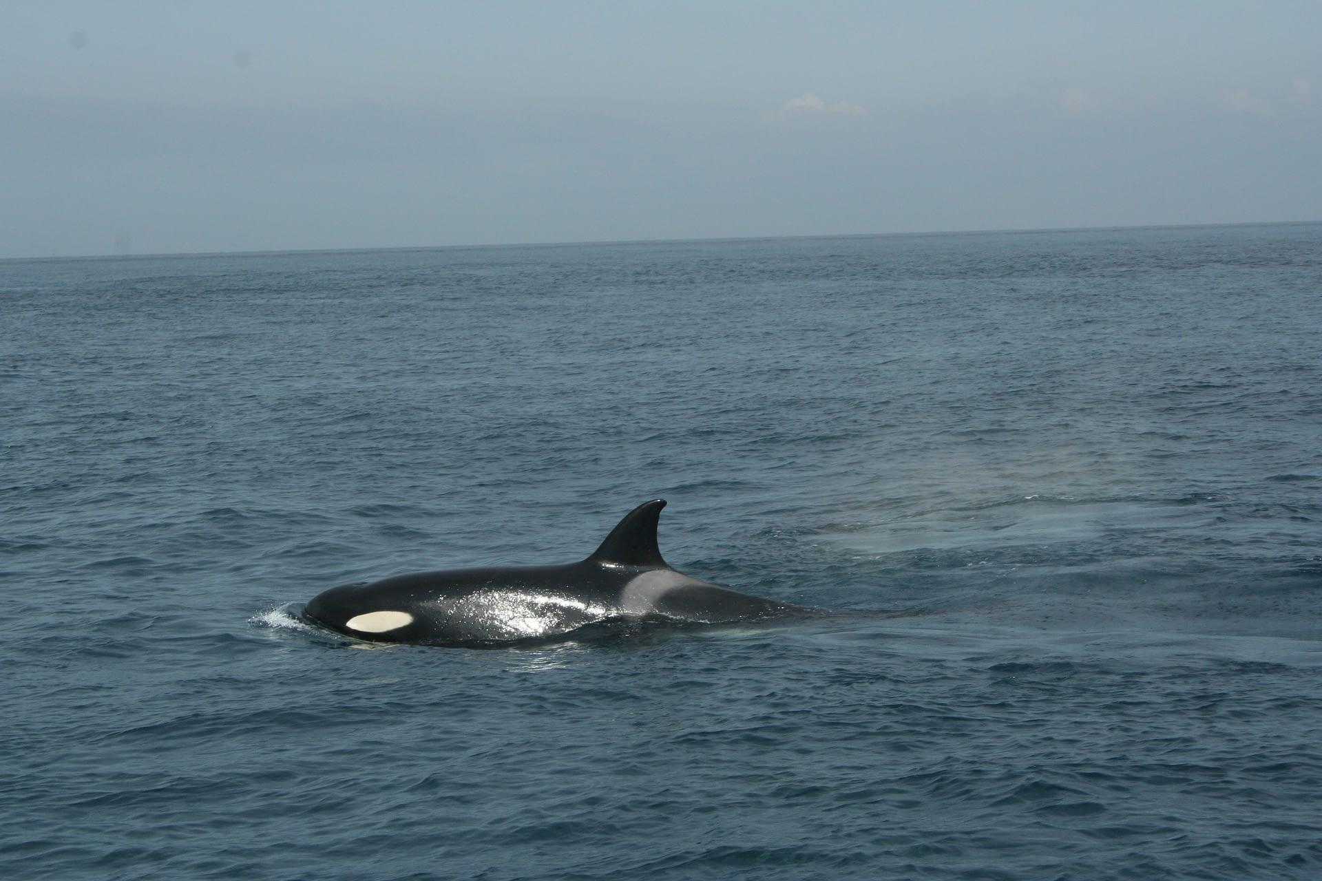 Orca en el Estrecho