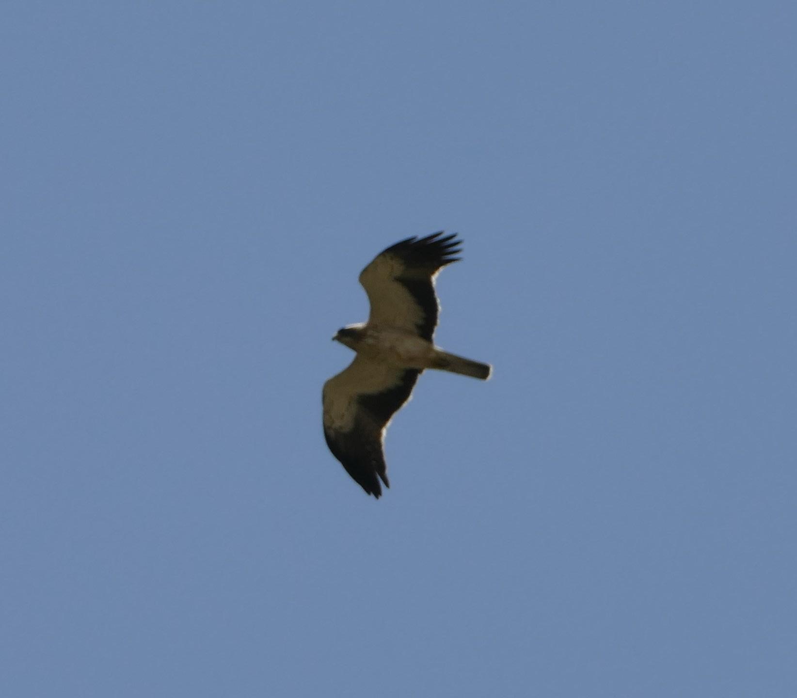 Águila calzada campeando frente a Genalguacil.