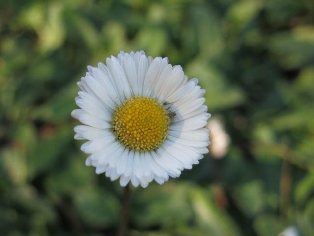 Velorita (Bellis perennis).