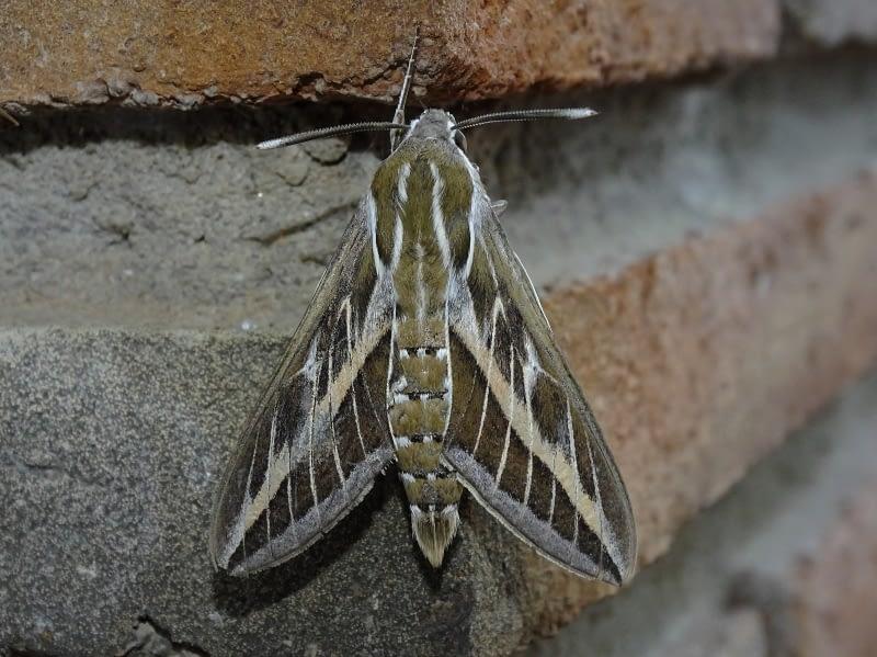 Esfinge rayada (Hyles livornica (Esper, 1780))