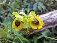 Orquídeas en el arroyo Pedroches