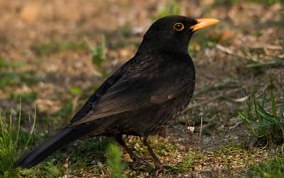 Aves del arroyo Pedroches