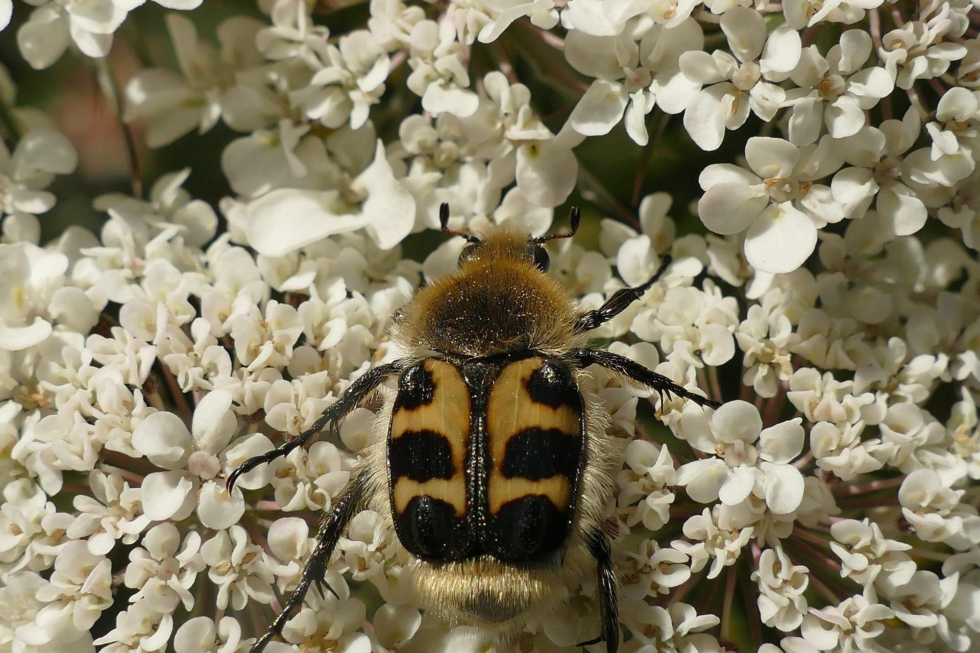 Escarabajo abeja, Trichius gallicus, sobre zanahoria salvaje, Daucus carota.