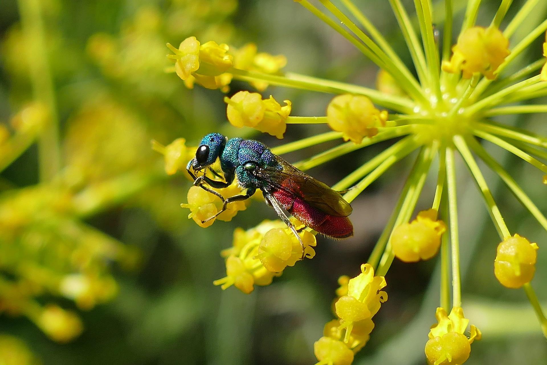Chrysis spec. (Hymenoptera: Chrysidae) sobre Cañareja Thapsia villosa.