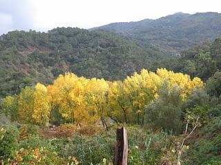 Paisaje con chopos y montañas. Valle del Genal