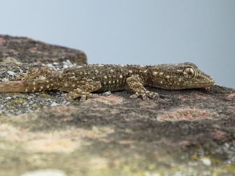 Juvenil de salamanquesa común (Tarentola mauritanica Linnaeus, 1758)