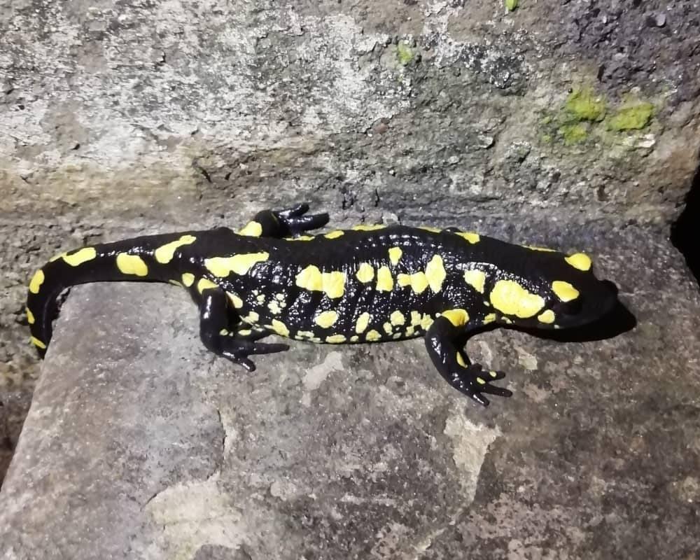 Salamandra bética (Salamandra s. longirostris)